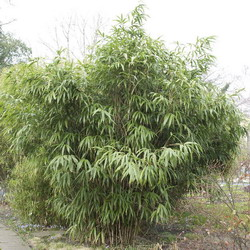 Bamboe snoeien wanneer