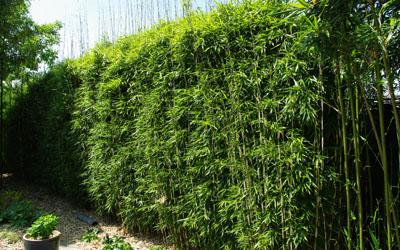 Bamboe snoeien afbeeldingen bamboe snoeien for Tuin snoeien